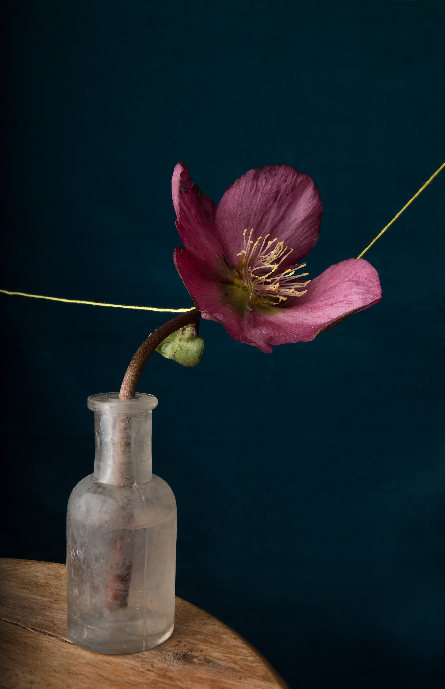 Hellebore and Thread